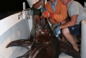 200Lb ++ Swordfish Caught in Destin