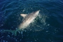 Destin Deep Sea Fishing for Sharks